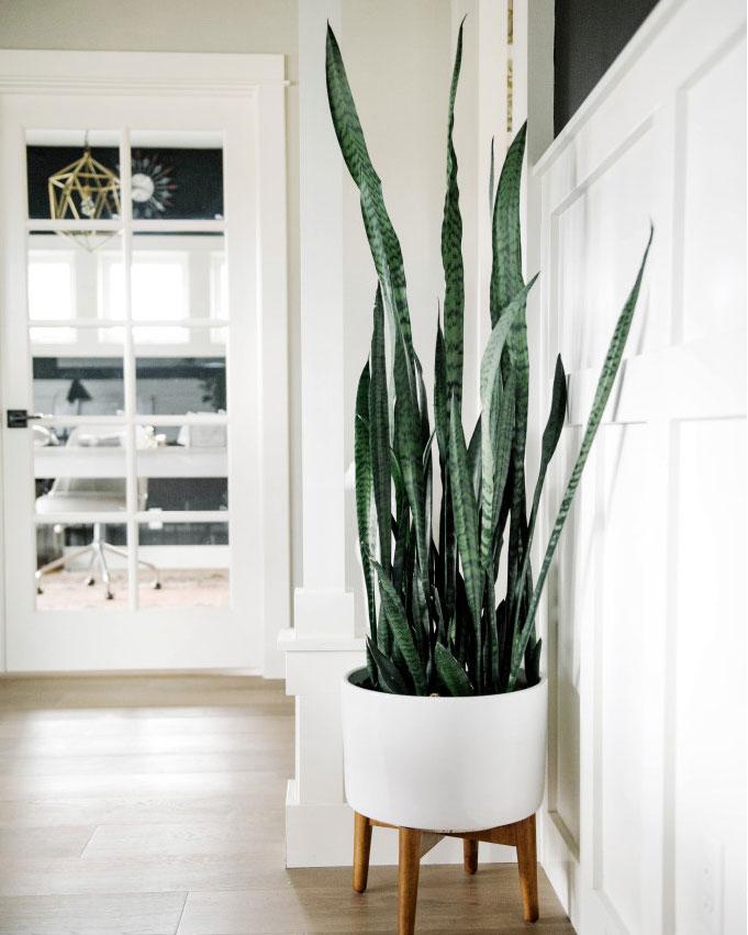 houseplant trend snake plant