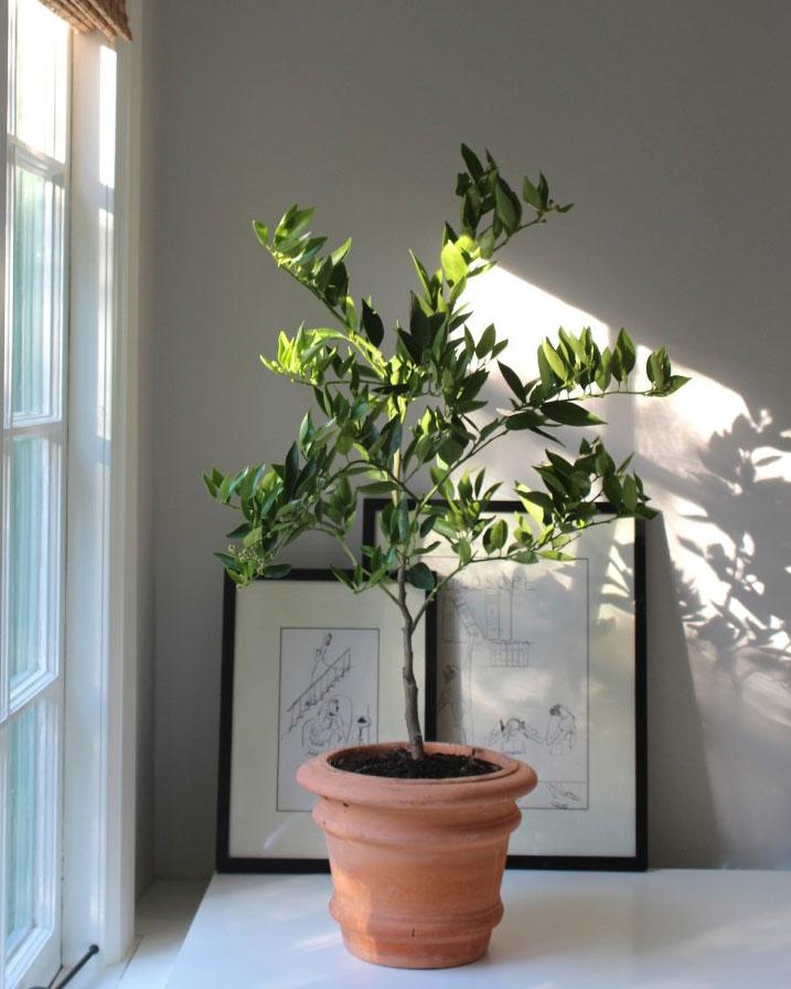 houseplant trend citrus tree